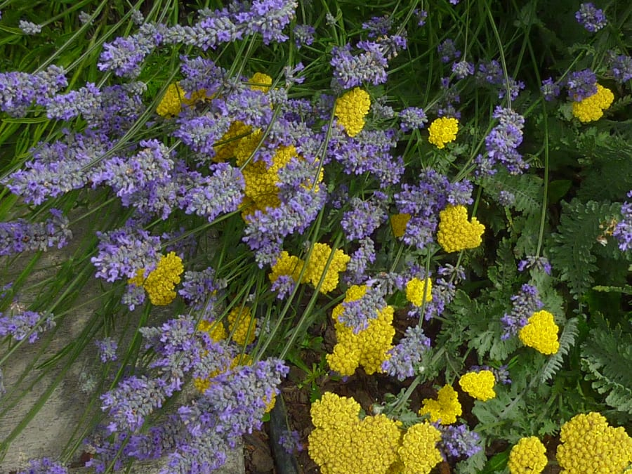 Yarrow and lavender at T Williams Realty in Eastsound, Orcas Island