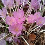 Autumn crocus on Turtleback Mountain Orcas Island
