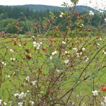 Snowberries and rose hips on Orcas Island