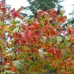 Sumac leaves on Orcas Island