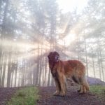 Murphy the leonberger on Orcas Island